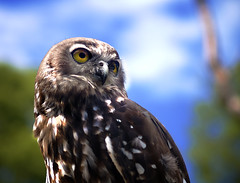 Barking Owl (Erik K Veland) Tags: woman dog bird woof animals flying intense wings eyes call dinosaur wildlife beak feathers australia sharp bark owl qld stare hunter predator captive information sanctuary groan plumes barking plume currumbin barkingowl behaviour currumbinwildlifesanctuary barks wuf ninoxconnivens specanimal animalkingdomelite avianexcellence screamingwoman hennysanimals