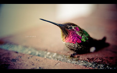 Hummingbird (isayx3) Tags: macro bird colors birds nikon hummingbird 28105mmf3545d humming d3 28105mm plainjoestudios