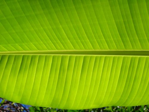 nature leaves banana tree green