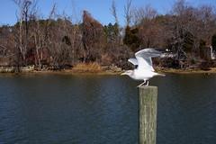 Cobb Island, Maryland (Bravo213) Tags: water dock post gull flight cy challengeyouwinner cobbislandmaryland