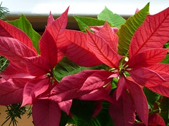Poinsettia by AtomicKitty, on Flickr
