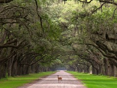 Wormsloe Plantation and the deer. (KnoxvilleRob) Tags: trees wild tree amazing arch tn knoxville accident howard wildlife award rob deer domestic driveway plantation surprise express canopy picturesque yourself wormsloe gravelroad forestgump runforrestrun rightplace righttime perfectframing expressyourselfaward wwwrobsellsknoxvillecom