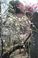 亀戸天神梅祭り 2009