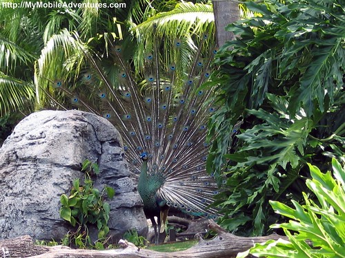 IMG_0293-peacock-plummage-disney-animal-kingdom