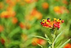 flies & flowers (Mel s away) Tags: china red orange plant flower color macro green closeup bug garden dof close bokeh bee mel melinda fa flowergarden panyu  hbw  chanmelmel