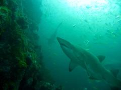 A few GNS (Saspotato) Tags: shark scubadiving southwestrocks greynurseshark fishrock