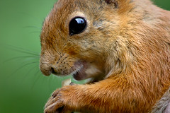 Squirrel Close-Up (Harri_1970) Tags: wallpaper food brown reflection cute eye animal mouth fur nose squirrel soft eating wildlife peanut orava ekorre hold ardilla luonto orav aplusphoto