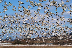 follow me (barbandcutlet) Tags: snowgeese