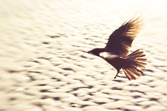 Flight (Lisa Bettany {Mostly Lisa}) Tags: bird beach lensbaby flying wings sand flight kitsilano crow lensbabycomposer