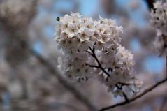 Sakura (.: Olivier :.) Tags: flowers flower fleur fleurs 50mm dof bokeh f14 桜 花 cerisier