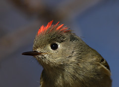 Ruby-crowned Kinglet (Hard-Rain) Tags: red bird closeup illinois aves regulus ruby naperville rubycrownedkinglet reguluscalendula passeriformes regulidae springbrookprairie explore40