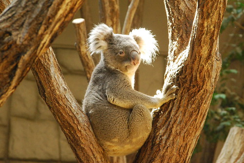 フリー写真素材, 動物, 哺乳類, コアラ科, コアラ,