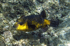Guineafowl puffer, Cabo Pulmo, Baja California Mexico (Hawkfish) Tags: fish mexico underwater snorkeling bajacalifornia bajacaliforniasur seaofcortez marinelife gulfofcalifornia cabopulmo