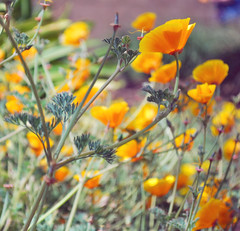 California Girls (Amanda) Tags: flowers yellow garden spring bokeh sunny poppies delicate californiapoppies hbw