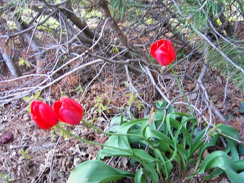big red tulips