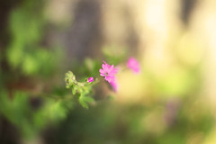 00687 (~maxi) Tags: pink italy flower iso100 bokeh f14 small bellagio delicate lombardia itl lombardy 50mmlens 11000s canoneos50d