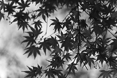 Maple (mctrent) Tags: white black blur color colour leaves japan cherry tokyo blackwhite leaf spring maple asia picnic blossom bokeh bbq barbecue  sakura barbeque