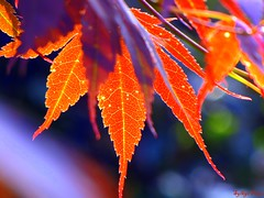 Leaves of different colors (sylkyred1) Tags: blue red orange green nature leaves lines yellow outdoors bokeh dots blueribbonwinner ultimateshot shutterbugcafe leavesofdifferentcolors leavesfromthejapanesemapletree sunwasshiningthroughtheleavescreatingthisbeautifulscene