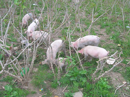 Pigs in the yuca fields.