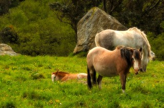 Galician wild horses - Soft version