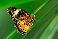 butterfly (perakman) Tags: nature canon butterfly 70200mm kupukupu ramarama leopardlacewing 40d colorphotoaward vosplusbellesphotos perakman