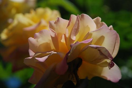 rose in lefferts garden