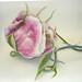 Rose by aeromake