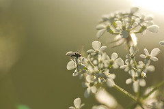 090602 (Tant Grön) Tags: makro blommor sommar växter kväll kvll vxter
