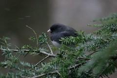 Dark-eyed Junco: Slate Color (Meegs108) Tags: ohio bird lifelist junco darkeyedjunco juncohyemalis