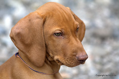 Der Denker (holdrioo_ch) Tags: dog animal puppy vizsla hund pup tier welpe huntingdog magyarvizsla