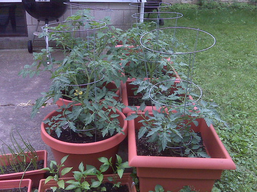 Tomatoes in the pots