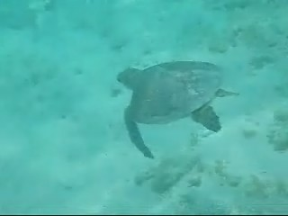 Turtle Video made in the Caribbean