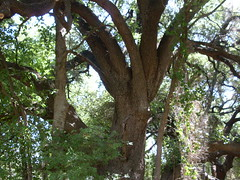 Hardwood tree near Waco Lake, Texas
