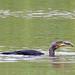 Cormorano e il suo lauto pasto