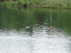 Canada Geese at Rundle Park (raise my voice) Tags: park red canada birds geese edmonton hiking biking winged blackbird rundle