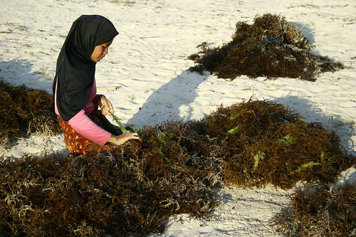 pulling out the seaweed strings in Kaliantan