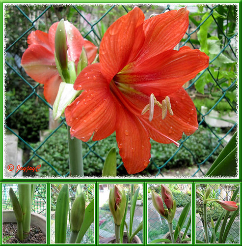 Collage showing the blooming stages of Hippeastrum, a scarlet-coloured hybrid