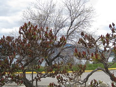 Trying to hide something? (jamica1) Tags: canada bc okanagan columbia sumac british summerland