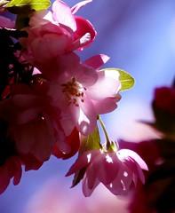 Glory Days (delsignorem) Tags: sunlight spring blossoms may pinks 2010 crabapple delsignorem