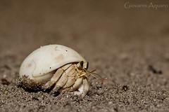 Granchio eremita (Giovanni Aquaro) Tags: sea shell scrab crostaceo