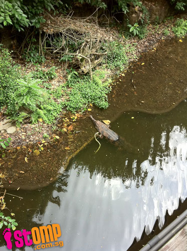 That's no fish: Alligator spotted at Sembawang Park?
