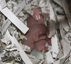 BABIES!! (AdrianneIsabel) Tags: baby gerbil pups babies litter gerbils pinkies