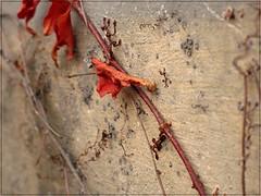 (Tlgyesi Kata) Tags: budapest oldhouse botanicalgarden virginiacreeper parthenocissus fvszkert botanikuskert vadszl withcanonpowershota620