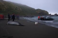 IMG_1224 (Devil.Bunny) Tags: beach penguin seal zodiac southgeorgia elephantseal unload