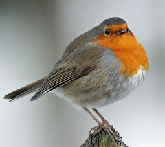 Mister Redbreast (earlyalan90 away awhile) Tags: robin breathtaking pictureperfect platinumphoto theunforgettablepictures goldstaraward breathtakinggoldaward