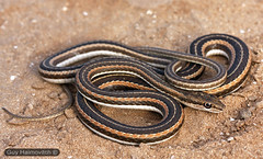 Schokari Sand Racer (Psammophis schokari) ארבע-קו מובהק