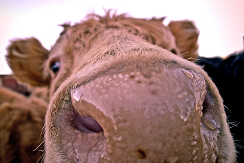 Wet cow nose