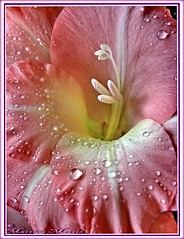 In the Pink (Martina Morris ( Ireland) Thanks for your visits) Tags: pink flowers fab macro 1001nights soe excellence greatphoto closeupflowers blueribbonwinner topshots bej masterphotos abigfave platinumphoto anawesomeshot diamondclassphotographer flickrdiamond flowersarebeautiful theunforgettablepictures platinumheartawards goldstaraward thesuperbmasterpiece natureselegantshots qualitypixels waterdropsmacros waterdropsrose 100commentgroup theperfectpinkdiamond anuniverseofflowers thecubeexcellencygallery superstarthebest 1001nightsmagiccity mygearandme mygearandmepremium mygearandmebronze mygearandmesilver mygearandmegold mygearandmeplatinum mygearandmediamond dblringexcellence tplringexcellence 100commentgroupboylecameraclub eltringexcellence rememberthatmomentlevel4 rememberthatmomentlevel1 magicmomentsinyourlifelevel2 magicmomentsinyourlifelevel1 rememberthatmomentlevel2 rememberthatmomentlevel3 magicmomentsinyourlifelevel3 magicmomentsinyourlifelevel4 rememberthatmomentlevel7 rememberthatmomentlevel9 rememberthatmomentlevel5 rememberthatmomentlevel6 rememberthatmomentlevel10 vigilantphotographersunite vpu2 vpu3 vpu4 vpu5 vpu6 vpu7 vpu8 vpu9 vpu10