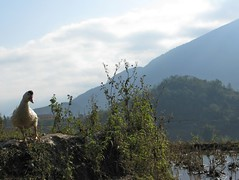 Duck, rice paddys, and hills - Sapa, Vietnam (lboogie) Tags: bird animal landscape duck seasia southeastasia view vietnam 2008 rtw sapa december2008
