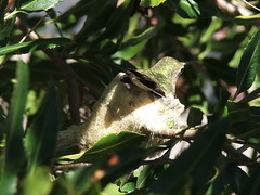 Hummingbird and Her Nest